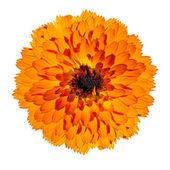 Orange Gerbera Flower Isolated on White Background — Stock Photo