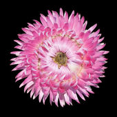Pink Strawflower Flower, Helichrysum bracteatum Isolated — Stock Photo