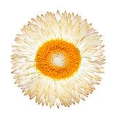 One White Everlasting Flower Isolated — Stock Photo