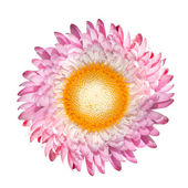 Blossoming Pink Strawflower, Helichrysum bracteatum Isolated on White — Stock Photo