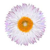 único pancararés branco rosa isolado no branco — Foto Stock