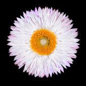 Pink White Strawflower Flower Isolated on White — Stock Photo