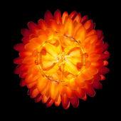 Jediný červená oranžová věčné květ izolovaných na bílém pozadí — Stock fotografie