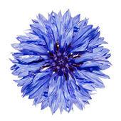 Single Blue Cornflower - Centaurea cyanus Isolated on White — Stock Photo