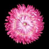 Jeden růžový strawflower, helichrysum bracteatum izolované na černém pozadí — Stock fotografie