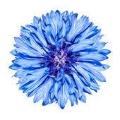 Blue Cornflower Flower head - Centaurea cyanus Isolated on White — Stock Photo