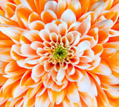 Orange and White Chrysanthemum Flower Head Closeup — Stock Photo