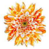 Orange and White Chrysanthemum Flower Isolated on White — Stock Photo