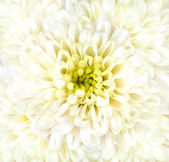 White Chrysanthemum Flower Head Closeup — Stock Photo