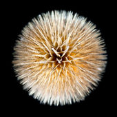 Dry Wild Teasel Dipsacus fullonum Isolated on Black — Stock Photo