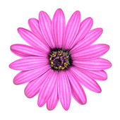 Violet Pink Osteosperumum Flower Isolated on White — Stock Photo