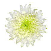Chrysanthème blanc citron vert isolé sur blanc — Photo