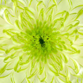 Lime Green Chrysanthemum Flower Square Backround — Stock Photo