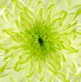 Lime Green Chrysanthemum Flower Square Backround — Stock Photo