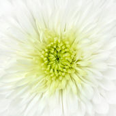 Witte chrysant bloem hoofd close-up detail — Stockfoto
