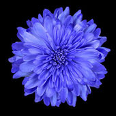 Deep Blue Chrysanthemum Flower Isolated over Black — Stock Photo