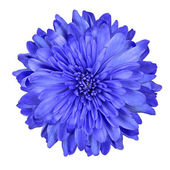 Deep Blue Chrysanthemum Flower Isolated — Stock Photo