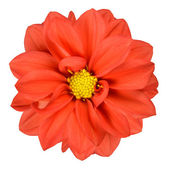 Orange Dahlia Flower Head Isolated on White — Stock Photo