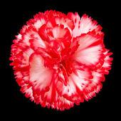 Flor clavel roja y blanca aislada — Foto de Stock