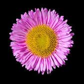 Purple English Daisy Flower Head Isolated on Black — Stock Photo