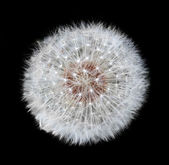 Dandelion Blowball - Taraxacum officinale Isolated on Black Bac — Stock Photo