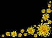 Yellow Dandelion flowers- Taraxacum officinale on Black backgrou — Stock Photo