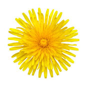 Yellow Dandelion - Taraxacum officinale Isolated on White — Stock Photo