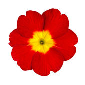 Red and Yellow Primrose Flower Isolated — Stock Photo