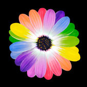 Colorful Petals on Daisy Flower Isolated — Stok fotoğraf