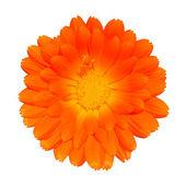 Orange ringblomma - calendula officinalis isolerad på vit — Stockfoto