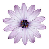 Light Purple Daisy -Osteospermum Flower Head Isolated on white — Stock Photo