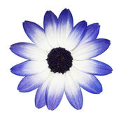 Osteospermum - Blue and White Daisy Flower Head — Foto Stock