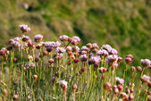 Armeria Maritima, Sea Pink or Thrift , Wild pink flowers — Stock Photo