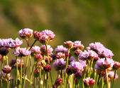 Armeria Maritima, Sea pink or Thrift, Wild Pink Flowers — Stock Photo