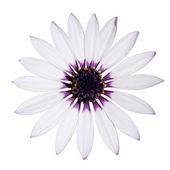 Osteospermum Asti White Daisy with purple center on White — Stock Photo