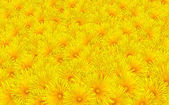 Fresh Yellow Dandelion Flowers Background — Stock Photo