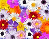 Multicolored Floral Background. Mix of Colorful flower heads — Stock Photo