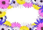 Osteospermum Daisy Backround with White Center — Stock Photo