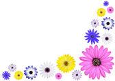 Various Multi Colored Osteospermum Daisy Flowers — Stock Photo