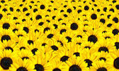 Fresh Sunflowers Background — Stock Photo