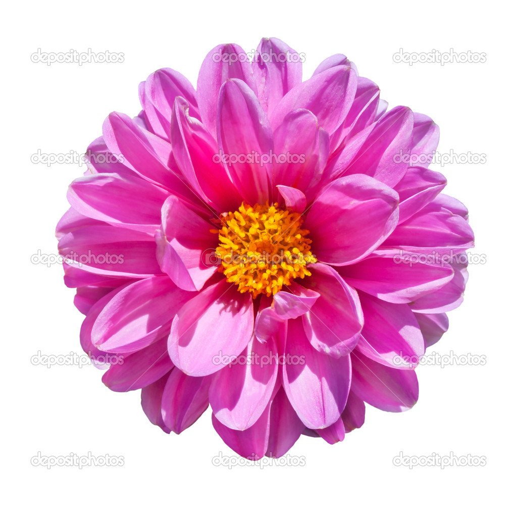 Beautiful Pink Dahlia Flower with Yellow Center  Isolated on White Background — Stock Photo #7554577