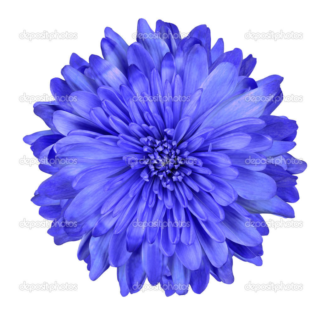 Deep Blue Chrysanthemum Flower Isolated — Stock Photo ...