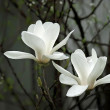 A beautiful white magnolia flower with fresh odor — Photo