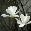 A beautiful white magnolia flower with fresh odor — Stok fotoğraf