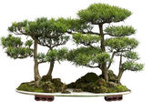 Cedar bonsai — Stock Photo