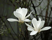 A beautiful white magnolia flower with fresh odor — Stock Photo