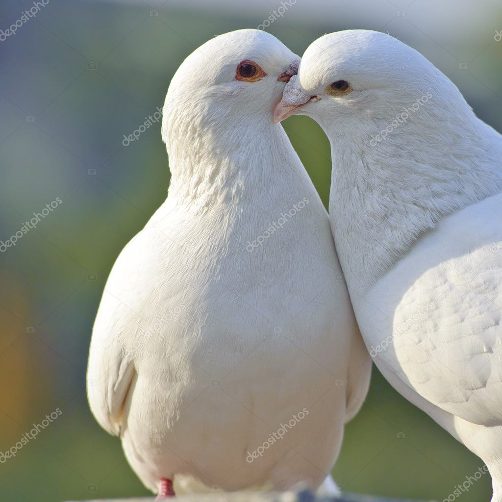 Two loving white doves in a park  Stock Photo #7486543