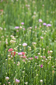 Beautiful armeria maritima — Stock Photo