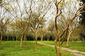 Lagerstroemia indica woods and path in a park — Stock Photo