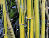 Yellow bamboo groves — Stock Photo
